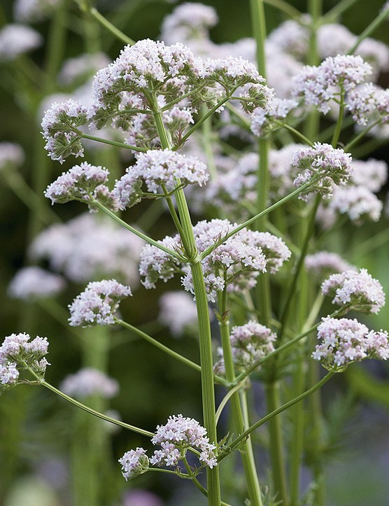 Valeriana officinalis An upright perennial with aromatic pinnate leaves in spring, soon giving way to slender stems that are crowned with clusters of tiny flowers, ranging from soft pink to white in colour. 60cm. RHS H4, USDA 4a-7b.