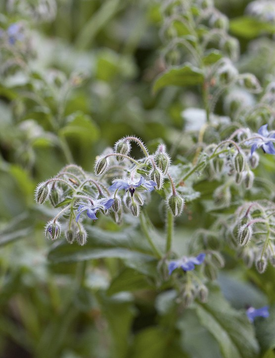 Borago officinalis A vigorous annual that forms a generous clump of large, hirsute leaves, topped with starry blue flowers throughout summer. 40cm. RHS H5, USDA 2a-11
