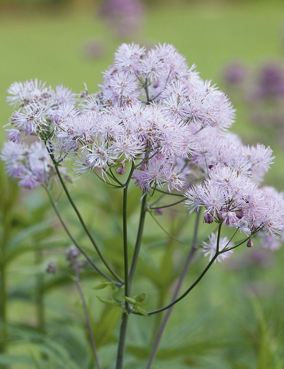 Thalictrum aquilegiifolium An erect herbaceous perennial with handsome, softly divided, glaucous foliage in spring, soon followed by clouds of purple-lilac to pale-pink flowers held on stiff stems. Prefers moist soil in sun or part shade. 50cm. RHS H5, USDA 5a-8b.