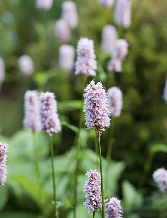 Persicaria bistorta 'Superba' A vigorous, clump-forming perennial with large, deeply veined leaves forming a handsome clump. From midsummer, dense pink spikes rise above the foliage on vertical stems. 1m. AGM. RHS H7, USDA 3a-7b.
