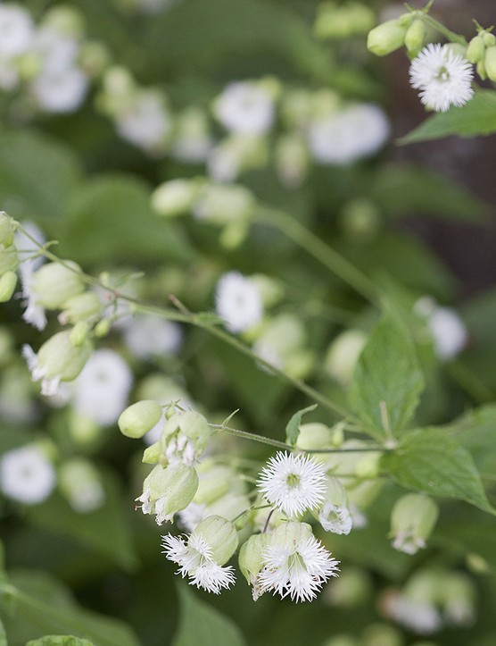 Silene fimbriata A delicate perennial flowering throughout summer over soft mounds of emerald-green foliage. White-fringed petals crown an inflated green calyx, giving this plant its distinctive flower. 30cm. RHS H6