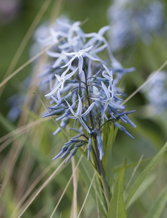 Amsonia tabernaemontana A tidy, clump-forming perennial with singular stems rising from the base, holding small, lance-shaped leaves and topped with terminal clusters of steel-blue, star-shaped flowers in summer. 80cm. RHS H5, USDA 3a-9b