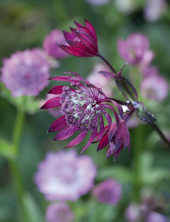 Astrantia major 'Claret' A reliable perennial with a dense clump of emerald palmate leaves, above which sit numerous tiny umbles of purplish red. Prefers full sun to part shade and moist soil. 60cm. RHS H7, USDA 4a-7b.