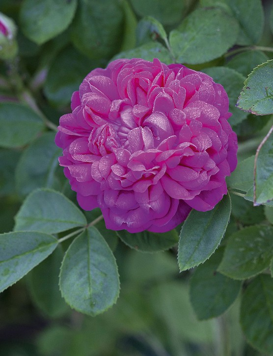 Rosa 'De Resht' A compact and well-behaved rose with dark-green foliage and fully double flowers that are highly fragrant and bright magenta in colour. 1m. AGM. RHS H7, USDA 4a-9b.