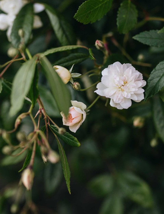 Rosa Snow Goose (= 'Auspom') is a repeat-flowering, English rambling rose bred by David Austin with dainty sprays of small, white flowers and a light musk scent.