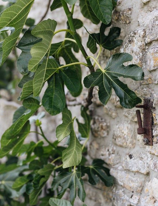 One of a pair of fig trees – Ficus carica 'Brown Turkey', known for its prolific fruiting and ability to tolerate the cold – grown against the south-facing wall of the Farrowing House.