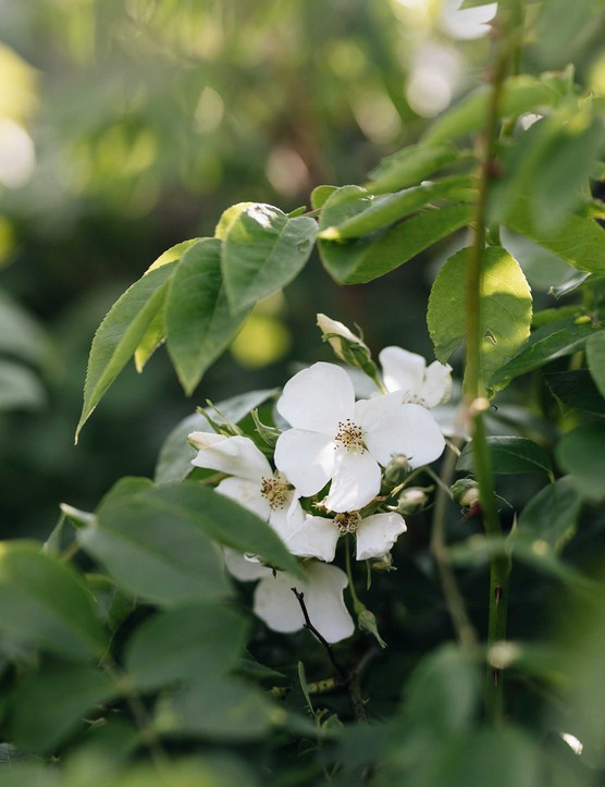 Rosa moschata (musk rose), is a medium-sized rambling rose with lustrous sprays of creamy-white, single flowers that flower late and then repeat, and a strong, delicious musk fragrance.