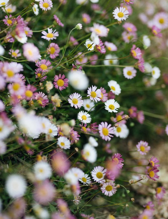 Erigeron karvinskianus offers masses of tiny pink and white daisies that appear in May and continue until November. It is a perfect low-growing plant that will spill over on to a path to soften edges, and is another useful self-seeder.