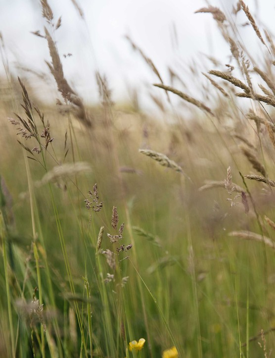 Holcus lanatus (Yorkshire fog) grows among the indigenous tall grasses in the Willow Garden – it is a good grass for wildlife, particularly butterflies.
