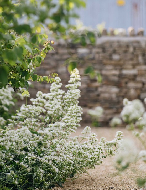 Centranthus ruber 'Albus' produces foaming heads of small, white flowers that add a softness to the planting. Centranthus self-seeds and is great for helping a new scheme look relaxed. Unwanted seedlings are easily removed.