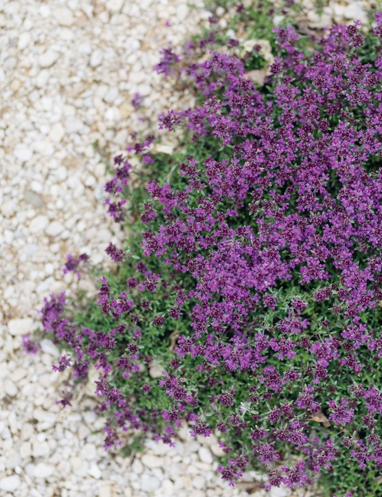 Thymus Coccineus Group is an excellent groundcover thyme that tumbles on to the gravel, creating pools of colour. It forms a mat of glossy, blue-green leaves, which in summer are covered with deep-pink flowers that are very attractive to bees.