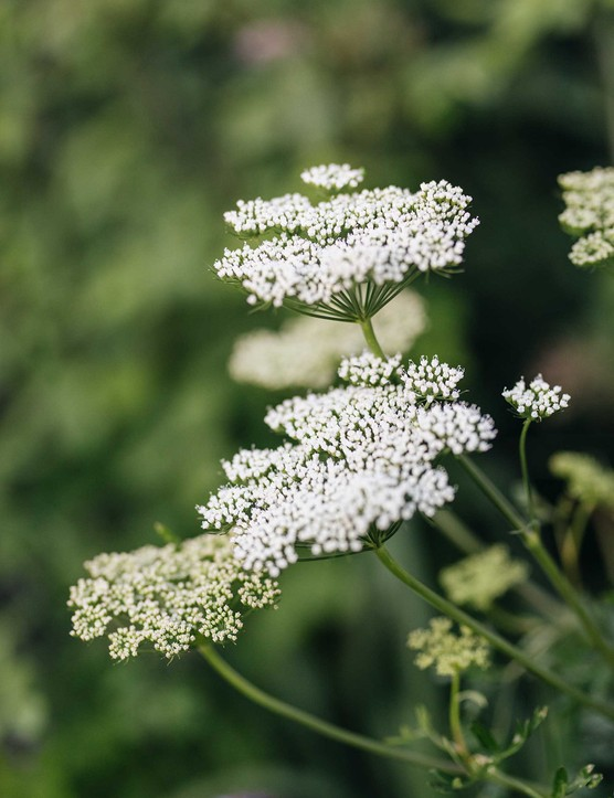 Cenolophium denudatam (Baltic parsley) has lacy, flat-topped umbels of creamy-white flowers, which rise from mounds of fine, fern-like foliage in midsummer and last well into autumn. An airy addition to a border and attractive to beneficial insects.