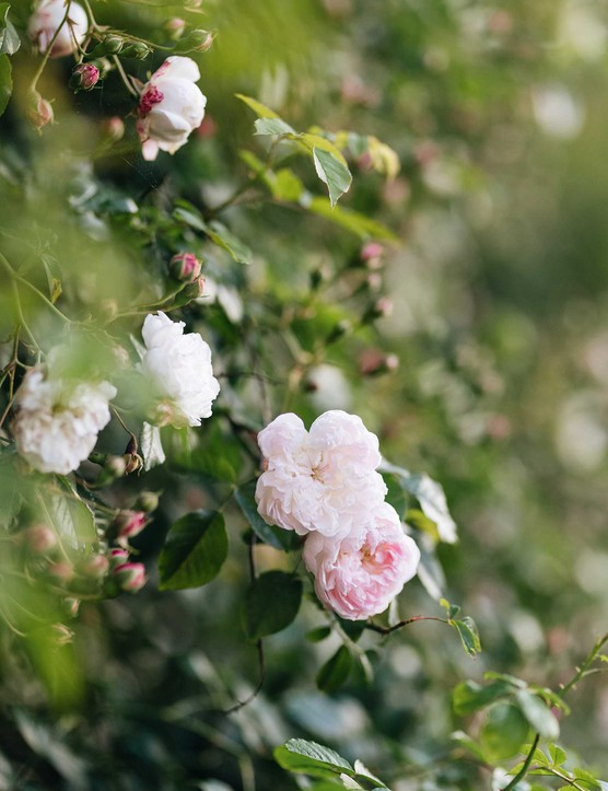 Rosa 'Princess Louise', a summer-flowering rambling rose with large clusters of small, blush-pink flowers that fade to white. Its elegant, pliable growth makes it easy to train. It is used here against the Farrowing House, an old stone building that is now used as an office space.