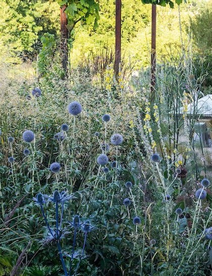 The dining area close to the house is shielded by a mix of tall Echinops bannaticus 'Taplow Blue' and Eryngium x zabelii 'Jos Eijking'. Much of Jo's perennial borders, like her wildflower meadows beyond, are allowed to self-seed and regenerate naturally.