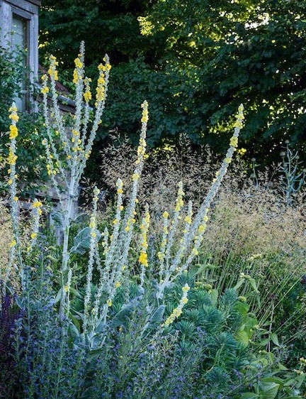 Close to the house, planting is slightly more ornamental with grasses mingling with the tall, yellow spikes of Verbascum bombyciferum 'Polarsommer', alongside Echium vulgare, Salvia 'Blue Spire', Phlomis russeliana and euphorbias.