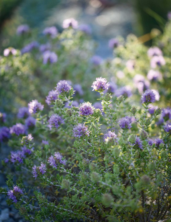 Thymbra capitata. A shrubby thyme that is tolerant of maritime exposure and is an excellent source of food for bees. Hardy to between -10°C and -12°C, it needs full sun and very good drainage. 40cm. USDA 6a-9b.