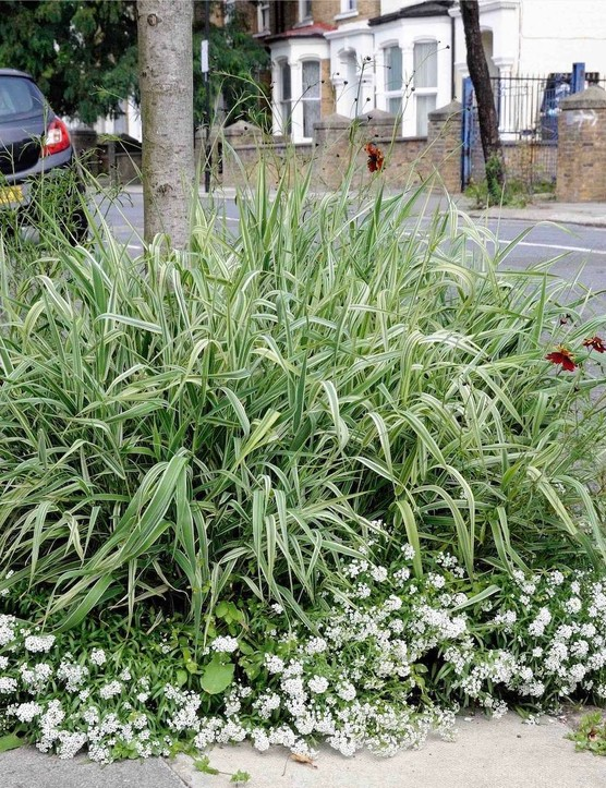 Planting around street trees, as in this mix of Phalaris arundinacea var. picta, Lobularia maritima and Coreopsis tinctoria 'Mahogany Midget', is an increasingly common way for communities to improve their environment