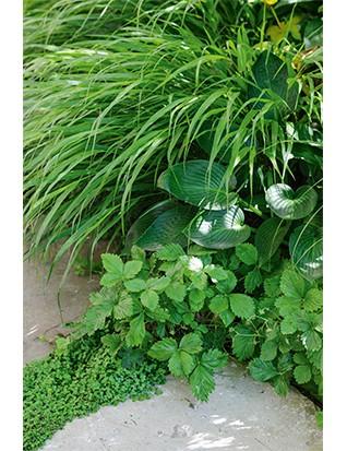 Perennial grass Hakonechloa macra provides understorey texture for this shady corner, along with Hosta 'Devon Green', wild strawberries (Fragaria vesca) and mind-your-own-business (Soleirolia soleirolii