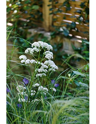 Valeriana officinalis gives height to a meadow-like planting, growing to 1m at least, with small, terminal flowers of white or palest pink. Needs thinning to keep it in check.