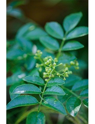 Zanthoxylum simulans The Sichuan pepper is another Harris Bugg favourite, which they have also used in the new, walled kitchen garden at RHS Garden Bridgewater.