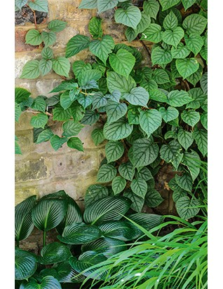 Schizophragma hydrangeoides, the Japanese hydrangea vine, is less vigorous than climbing hydrangea, with more distinctive foliage and flowers. Seen here in semi-shade with Hosta 'Devon Green'.