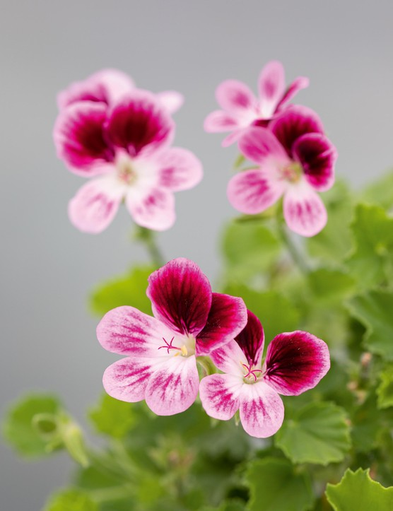 Pelargonium 'Ursula's Choice'. Tall, bushy and easy to grow, with masses of small flowers. The lower petals have lavender-purple veins and the dark-purple upper petals are blazed with a white throat. It was raised in the UK by enthusiast and breeder Des Glover. 40cm. RHS H1C, USDA 9b-13.