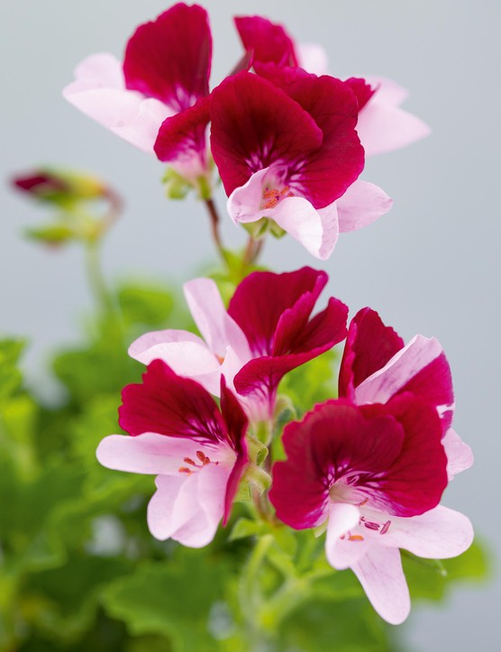 Pelargonium 'Mole'. Bred in the UK and first introduced in 1994, this strong-growing, upright, bushy cultivar boasts showy, pale-lavender lower petals with purple feathering over a long season. The upper petals are deep burgundy-red, feathered dark red. 30cm. RHS H1C, USDA 9b-13.