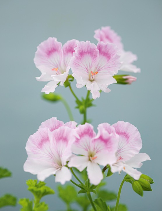 Pelargonium 'Quantock May'. Introduced in 1999, this plant has a lax, trailing habit that is unique among Angels. The frilly flowers are white, with the upper petals flushed pale pink with fine cerise feathering. A pretty, understated, very floriferous plant. 50cm. RHS H1C, USDA 9b-13.