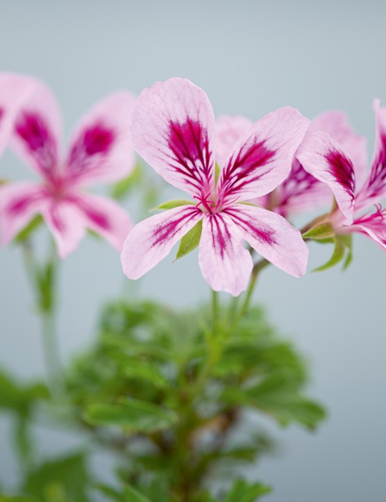 Pelargonium 'Charmaine Marjorie'. This is quite a different style of Angel, short and bushy and with deeply cut leaves. The simple, delicate flowers are light mauve-pink with dark-purple flashes on the lower petals, and larger flashes and feathering on the upper petals. 30cm. RHS H1C, USDA 9b-13.
