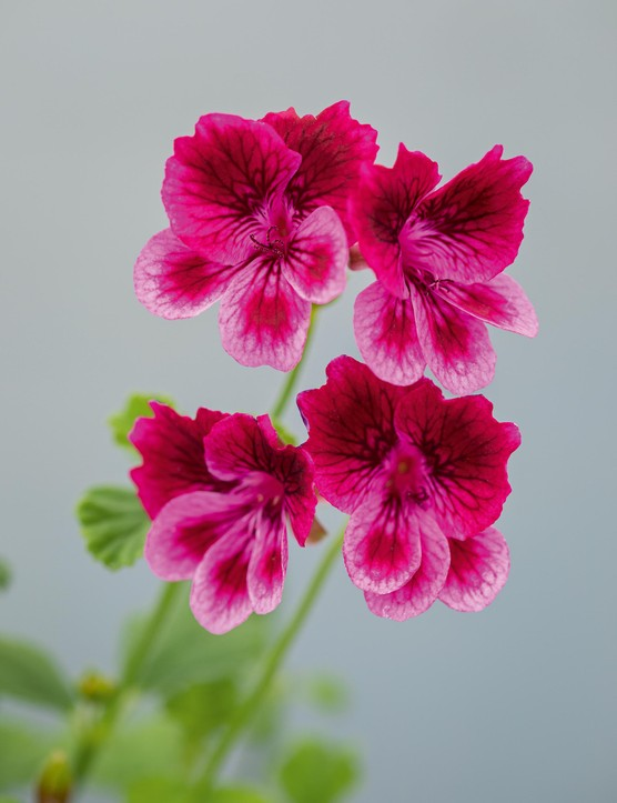 Pelargonium 'Cottenham Wonder'. A strong grower with an upright habit, producing a profusion of rose-pink flowers, with overlaid dark-red upper petals that have a red blotch and similar red feathering on the lower petals. Excellent as a cut flower. 40cm. AGM*. RHS H1C, USDA 9b-13.