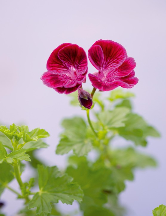 Pelargonium 'Berkswell Bolero'. This recent 2018 addition bred by Malcolm Harris is covered in mauve flowers with a burgundy blotch and feathering. Not quite dwarf but dense and compact, the opulent magenta colouring catches the light beautifully. 50cm. RHS H1C, USDA 9b-13.
