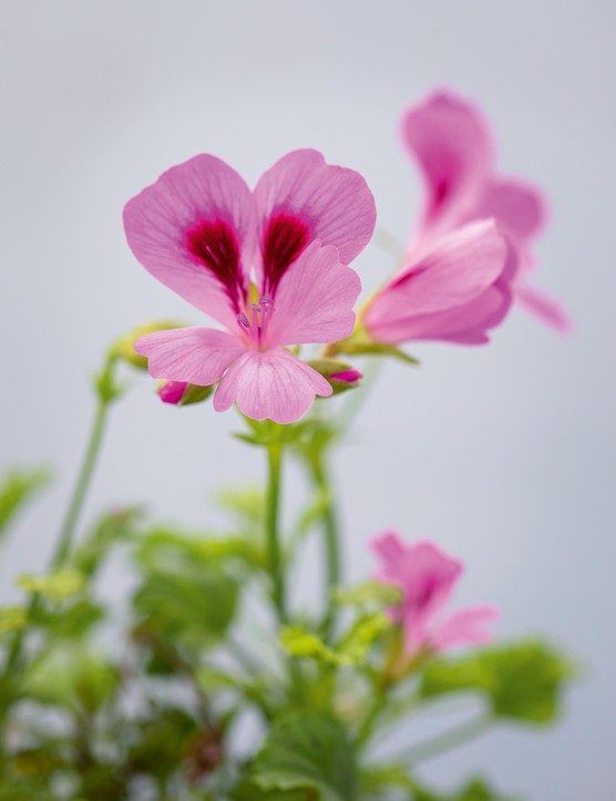 Pelargonium 'April Showers'. A neat, well-shaped, floriferous plant that is one of the earliest to flower. The flowers are a soft lilac-pink, with a white throat and purple-red splashes on upper petals. Introduced in 2001 by breeder Derek Lloyd Dean. 45cm. RHS H1C, USDA 9b-13.