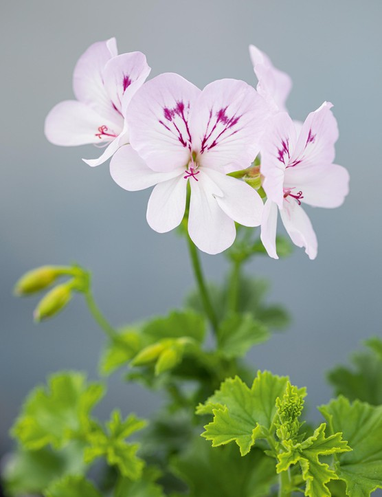 Pelargonium 'Moon Maiden'. A pretty plant, notable for its unusually large flowers for this group. The plant is well branched and the simple yet attractive blooms are almost white with a hint of lilac in the upper petals and delicate, purple blotches and feathering. 25cm. RHS H1C, USDA 9b-13.