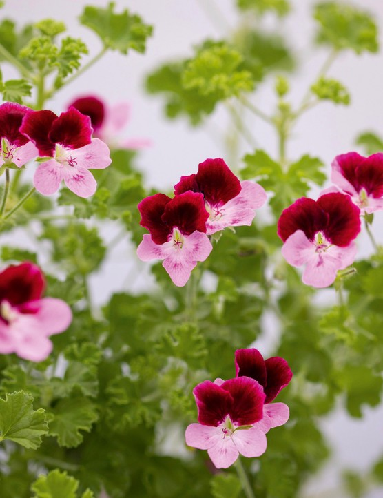 Pelargonium 'Berkswell Harmony'. A highly distinctive, two-toned cultivar with burgundy upper and pink lower petals and intricate claret 'feathering' (fine lines). It's tall, and needs staking. Aim for three to four leaders initially with constant pinching out to create a full bush that eventually supports itself. 60cm. RHS H1C†.