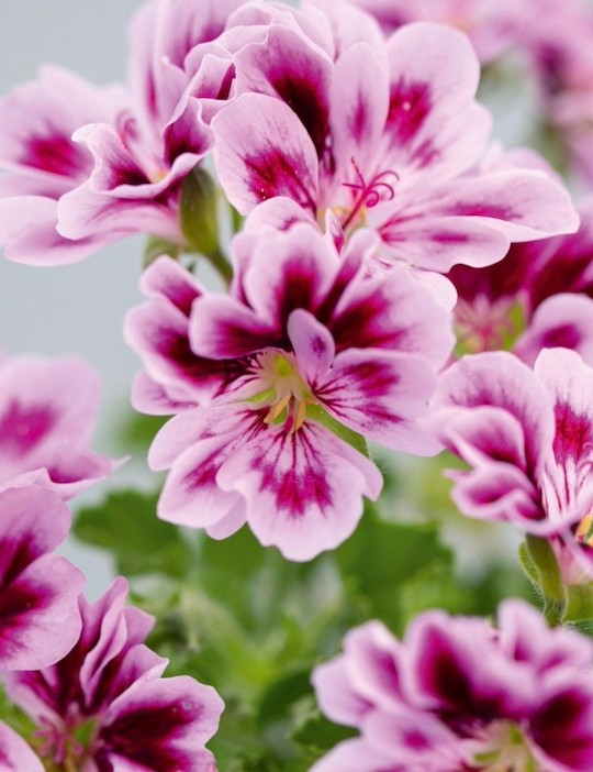 Pelargonium 'Georgina Forever'. A popular, recent introduction from 2018. This easy-to-grow, upright Angel is a compact plant with lilac flowers, purple blotches and feathering on the petals. The highly distinctive, split petals, which create the illusion of it being double-flowered, add to its desirability. 90cm. RHS H1C, USDA 9b-13.