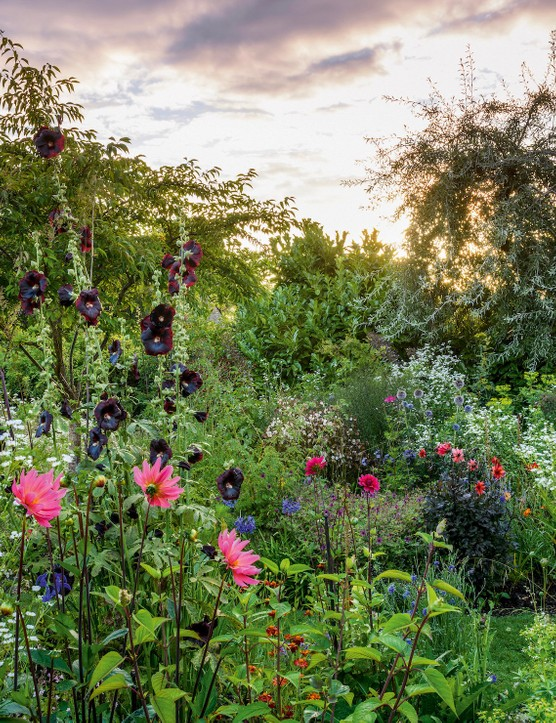"""Stands of towering hollyhocks, some planted right up against the boundary wall, help the garden feel more spacious than it is. In high summer the hollyhocks are combined with much-loved dahlias – """"always single and open-faced to encourage pollinating"""" – such as 'Winston Churchill', 'Waltzing Mathilda' and 'Bishop of Llandaff'."""