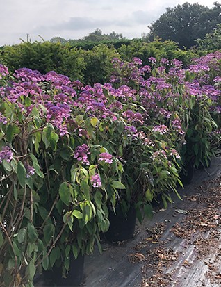 An amazing row of Hydrangea aspera Anthony Bullivant. Looking for a home right now… But doubtless about to get snapped up for Chelsea.