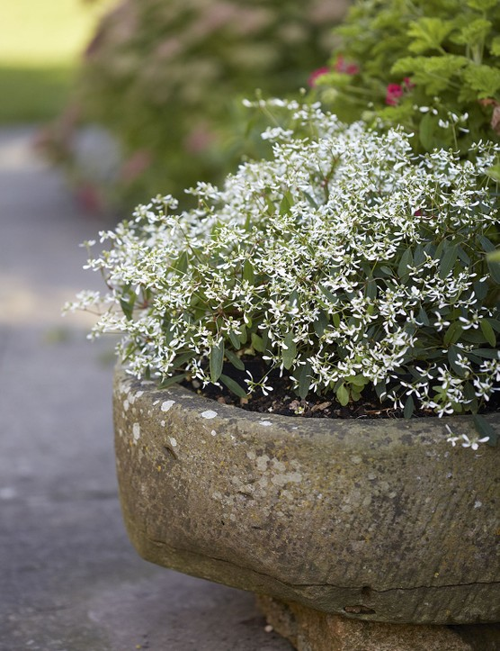 Euphorbia hypericifolia Diamond Frost (= 'Inneuphe'), with its tiny, white, gypsophila-like flowers held on a tangle of fine, airy stems, graces one of the many planters that surround Louise's terrace.