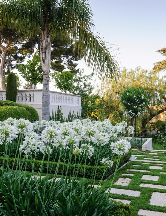 The bright, white heads of Agapanthus praecox 'Albiflorus' look sensational beneath a royal palm, Roystonea regia, while mature pines, Pinus pinea, frame the view out to the Mediterranean. The formal design of this entrance garden, which was laid out in the 1960s, has been refined by replanting the agapanthus beds, which had become congested, and refreshing the soil. Low box edging was replaced with more drought- tolerant Myrsine africana.