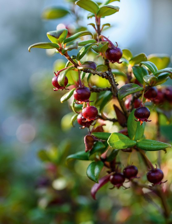 Ugni molinae Hailing from Chile, this slow-growing, evergreen shrub bares small, pendent, bell-shaped, pink flowers, followed by edible, polished, mahogany-red berries that are delicious. Likes a moist, acidic soil and a sheltered site. 1.2m. RHS H4.