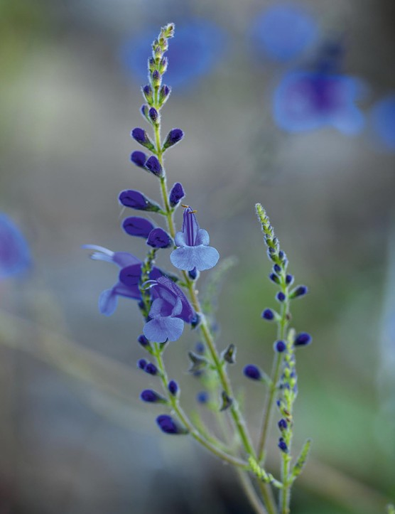 Salvia cacaliifolia A shrubby salvia for a warm, sunny site, bearing neat, sagittate foliage and fine spikes of typical, blue-hooded salvia flowers. Not reliably hardy and best started afresh from cuttings each year. 1m. AGM. RHS H2.
