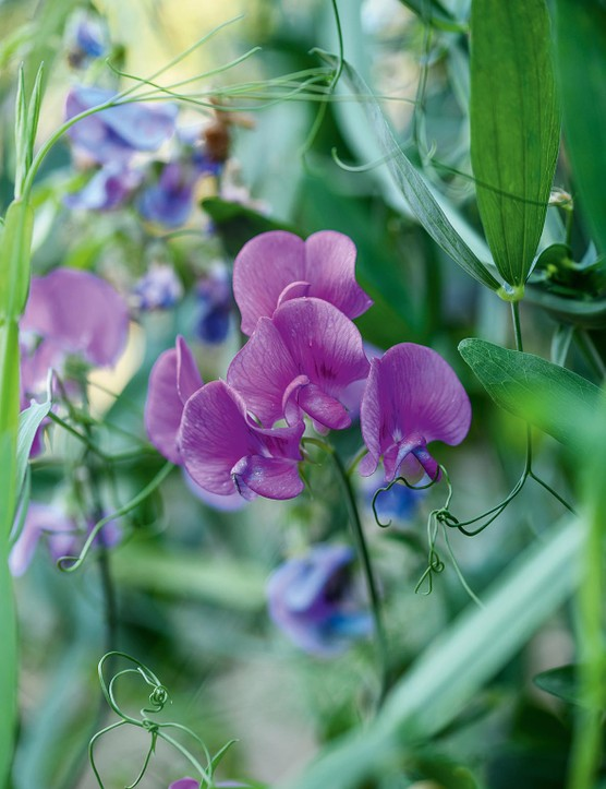 Lathyrus latifolius A perennial pea that produces masses of scentless, mauve flowers in late summer. It can either be coaxed up a shrub or trained up a frame made of pea sticks. 1.8m. AGM. RHS H7, USDA 3a-8b.