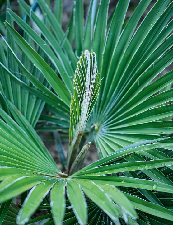 Trachycarpus fortunei Forms wide fans of corrugated leaves atop thin, fibrous stems, and provides instant drama and height without taking up too much space – especially useful in smaller gardens. 10m. AGM. RHS H5, USDA 7a-10b.