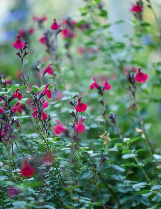 Salvia 'Royal Bumble' This long-flowering sub-shrub makes an excellent garden plant. Blooms are produced from May to October. Plant in a sunny position at the front of the border. Once established, it is resistant to drought. 1m. AGM. RHS H4.