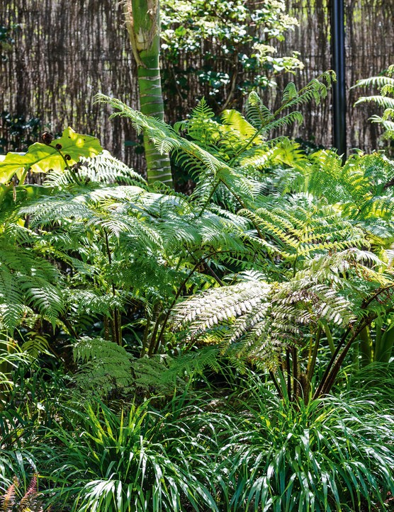 Young tree ferns and the Japanese forest grass Hakonechloa macra, growing in the shade of Howea forsteriana palm trees, create layered planting in the shady garden. In the background, a climbing Hydrangea petiolaris grows against a brushwood fence.