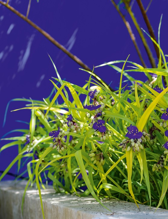 The deep-blue flowers of Tradescantia Andersoniana Group complement the feature wall, which is painted in bold Klein Blue. The wall also provides a surface for ever-changing shadows as the sunlight filters through the tree canopy.