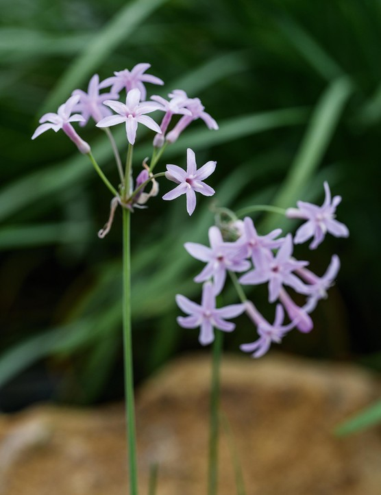 Tulbaghia 'Fairy Star'. The pale, lilac-mauve flowers have a particularly strong evening scent. First spotted by one of nurseryman Bob Brown's family members growing among their plants at Cotswold Garden Flowers in Evesham. Flowers from May to October. 35cm. RHS H3.