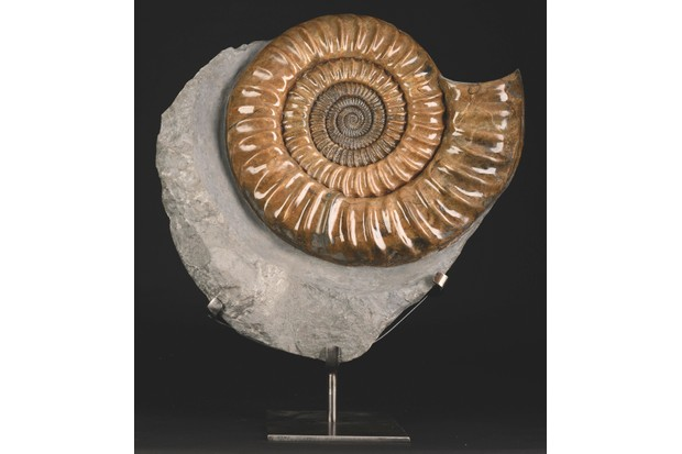An Ammonite on display