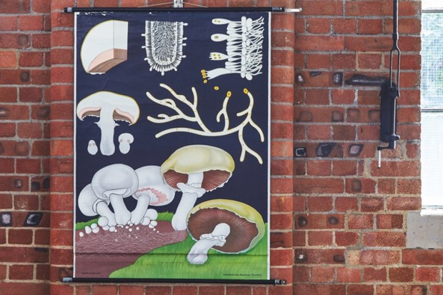 A vintage educational wall chart showing mushrooms on an exposed brick wall