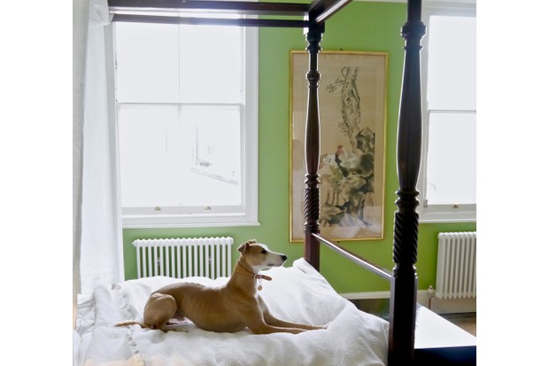 A Whippet on a four poster bed